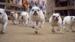 Kampagne: Running of the Bulldogs – GEICO